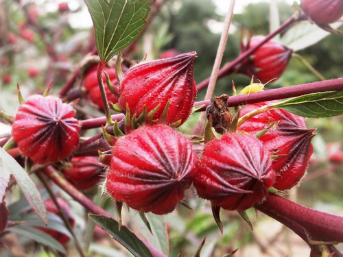 Roselle fruit